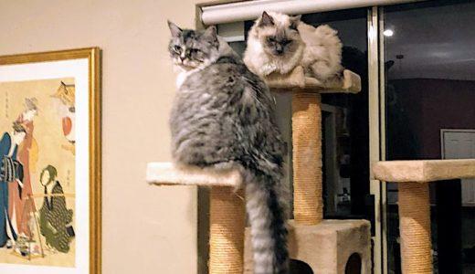猫のユリ中毒:「死に至る」危険についての再認識