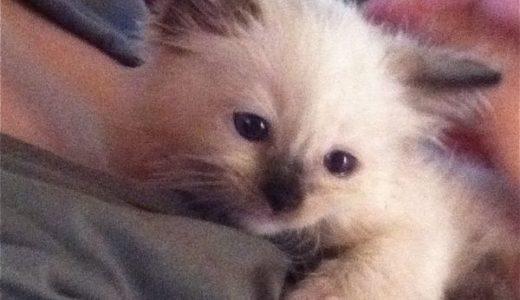 生後6週間目の仔猫