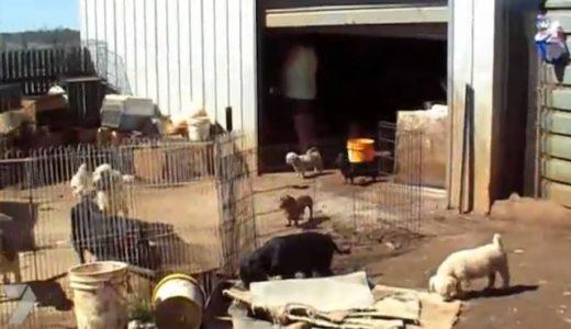RSPCAが捜査したオーストラリア「仔犬製造工場」の実態